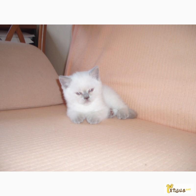 Фото 3. Шотландские вислоухие плюшевые котята