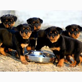 Продам замечательных чистокровных щенков ротвейлеров