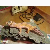 Продам леопардового геккона (эублефара) с террариумом.