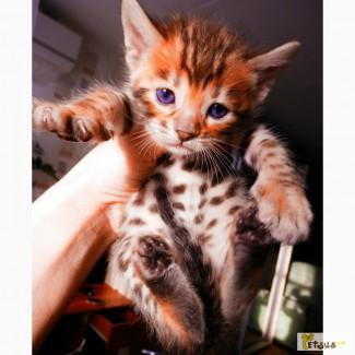 Шикарные бенгальские котята