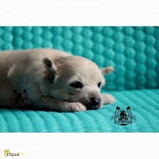 Предлагаю к резервированию щенков китайской хохлатой собачки