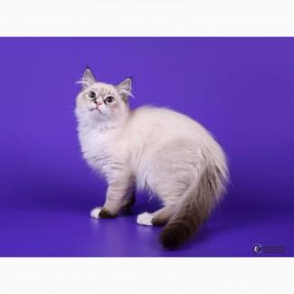 Котик от Интерчемпионов