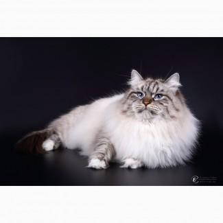 Котенок невской маскарадной кошки, Корнелия Ларимур