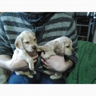 Продам щенка коккер спаниеля