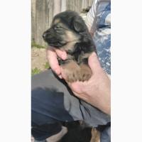 Продам породистых щенков
