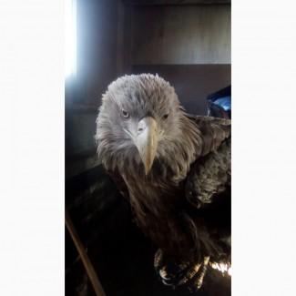 Продам орлан білохвіст