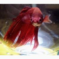 Продам Новый аквариум шар на 2 л. с красивой рыбкой Петушок+корм+термометр