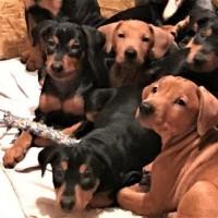 Подрастают щенки Немецкого пинчера