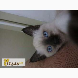 Тайские котята, родословная.
