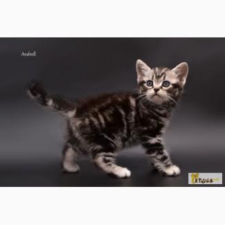Продам котенка Американская короткошерстная, мальчик