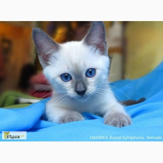 Тайские котята. Элита породы. д.р. 25.05.2015
