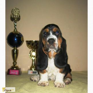 Бесподобные щенки бассет-хаунда от родителей чемпионов