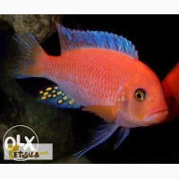 ������������� ����� ���-��� (Pseudotropheus sp. red-red)