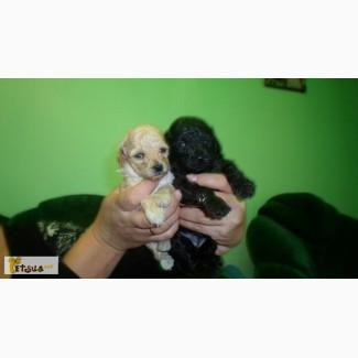 Продаются щенки карликового пуделя