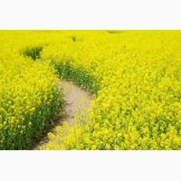Ріпак озимий(насіння), Авентадор, Шелби