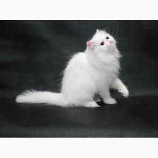 Предлагаем Персидскую кошечку