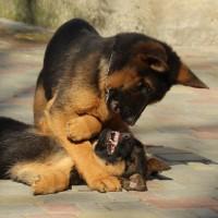 Прекрасные щенки немецкой овчарки КСУ