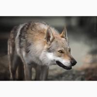 Чехословацкий влчак, волчак щенки. Питомник КСУ
