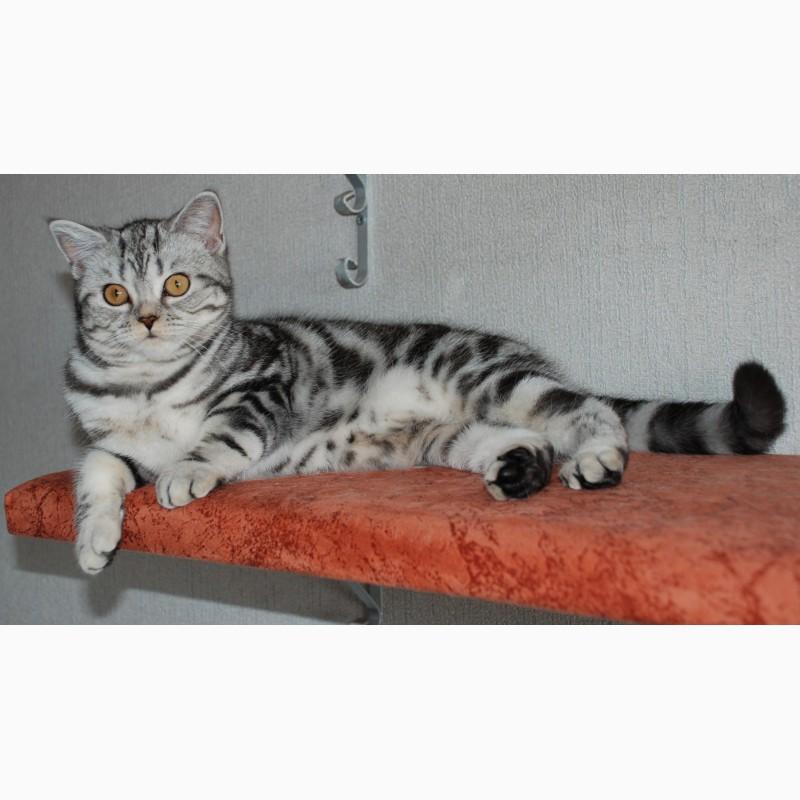 девчонки британские коты мрамор на серебре фото работать всех
