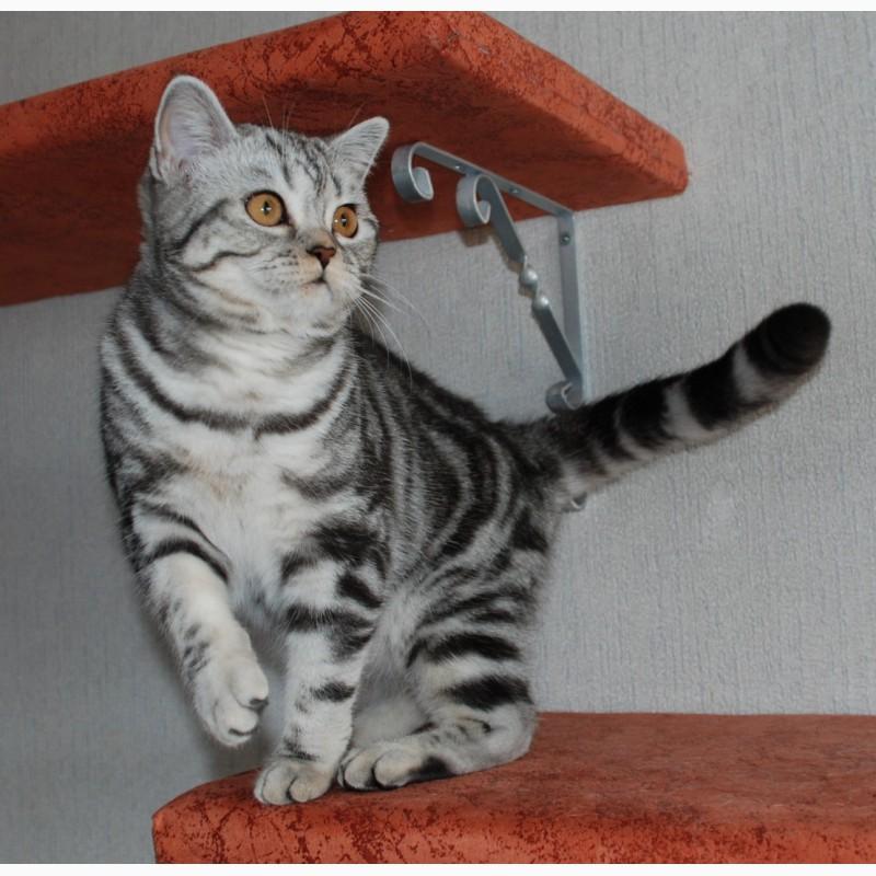 британские коты мрамор на серебре фото культура, тёплый