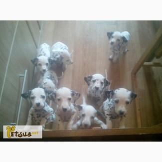Продам щенков далматина
