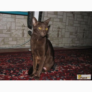 Котята породы ориентал