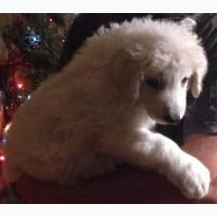 Продам щенков Венгерского КУВАСА
