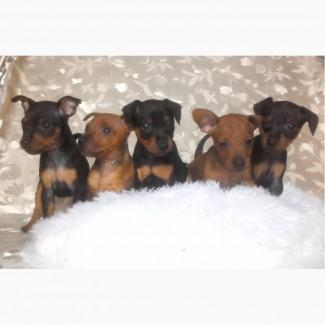 Продаются щенки цвергпинчера