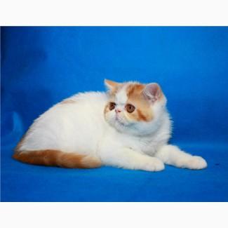 Экзотик котёнок-мальчик, удивительный окрас, плюшевая шубка