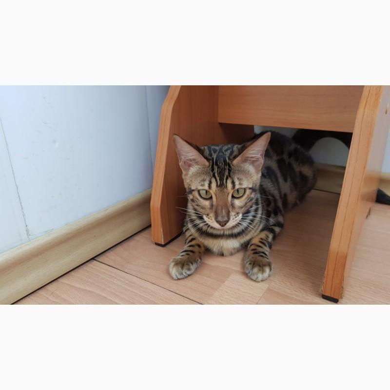 Фото 1/3. Бенгальские котята из питомника Bengalkiev