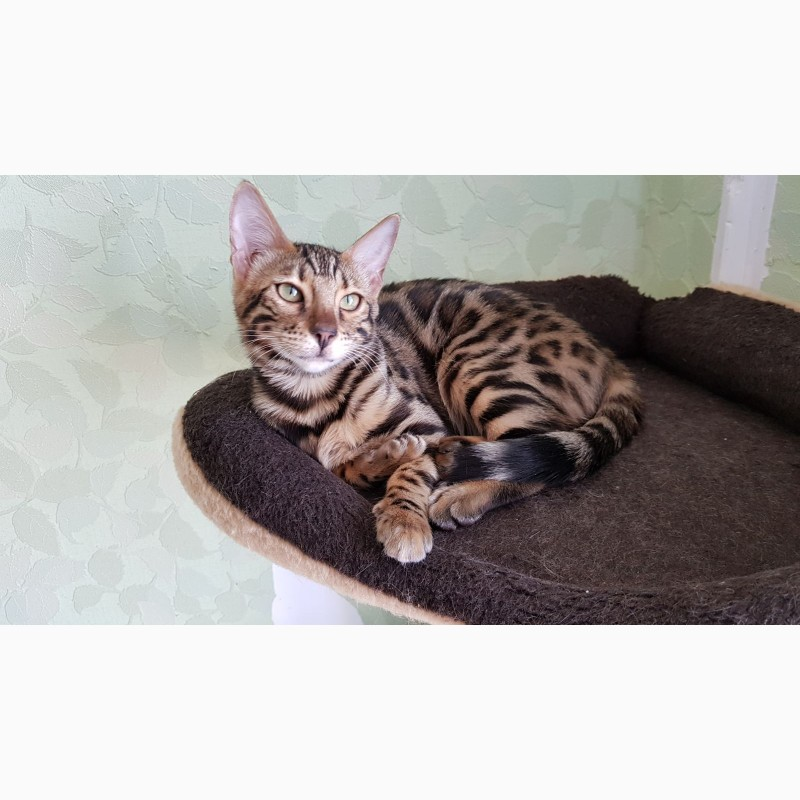 Фото 2/3. Бенгальские котята из питомника Bengalkiev