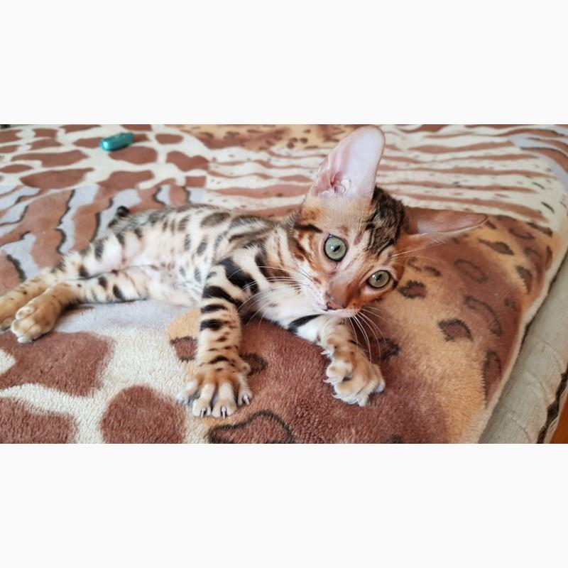 Фото 3/3. Бенгальские котята из питомника Bengalkiev