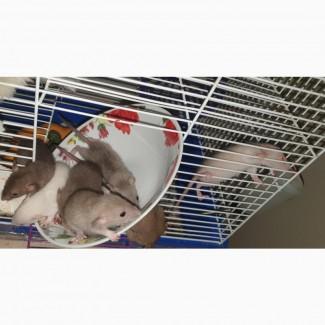 Пристрою в добрые руки крысят для домашнего содержания