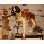 Щенки сенбернара от чемпиона Мира