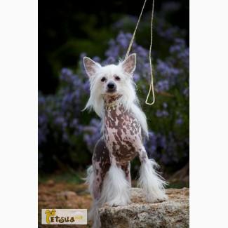 Продам Китайских Хохлатых собачек
