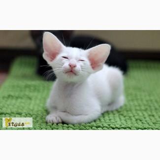 Куплю белого котенка ориентала