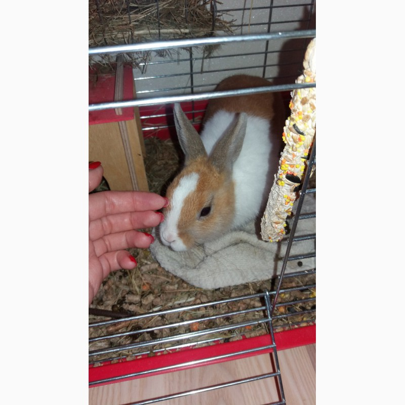 Фото 2/2. Віддам декоративного кролика з кліткою та аксесуарами 4 міс