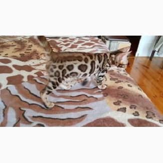 Продам бенгальского кота Днепр. официальный питомник