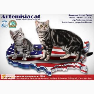 Американская короткошерстная. Котята от привозных родителей из США