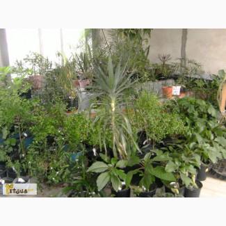 Продаю как саженцы так и большие фруктовые плодоносящие экзотические растения