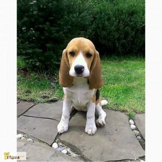 Продам щенка Бигль в добрые руки