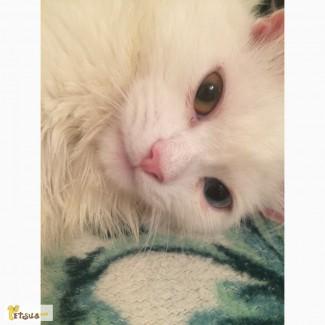Продам кота турецкий ван белыйприучен к лоткуприучен к лотку
