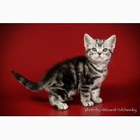 Котатя породы Американская короткошерстная