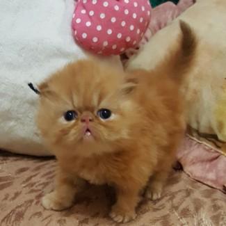 Персидские котята малыши