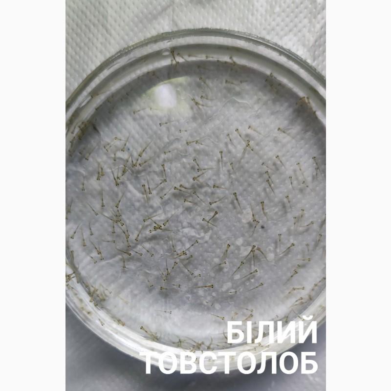 Фото 10. Личинка амура, білого товстолоба та гібрида Б.Т. в сторону білого