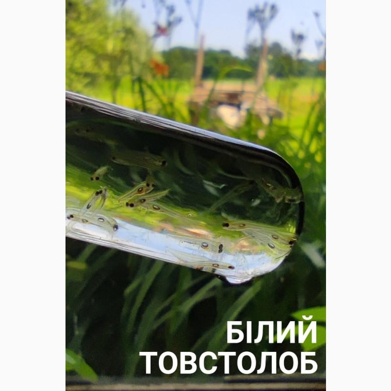 Фото 12. Личинка амура, білого товстолоба та гібрида Б.Т. в сторону білого