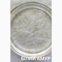 Личинка амура, білого товстолоба та гібрида Б.Т. в сторону білого