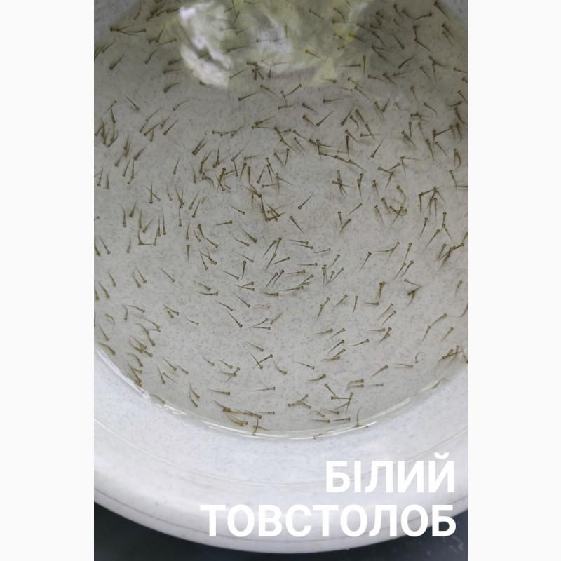 Фото 8. Личинка амура, білого товстолоба та гібрида Б.Т. в сторону білого