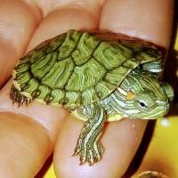 Самые красивые черепахи в мире - это красноухие черепашки
