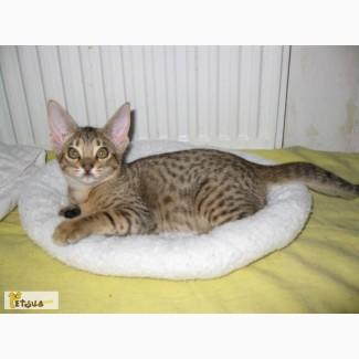 Кошечка оцикет-миленький дружочек для всей семьи!
